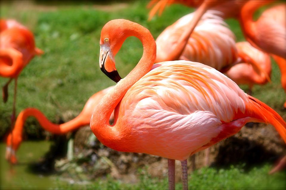 flamants du zoo