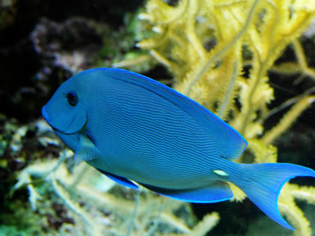 poisson bleu oceanopolis