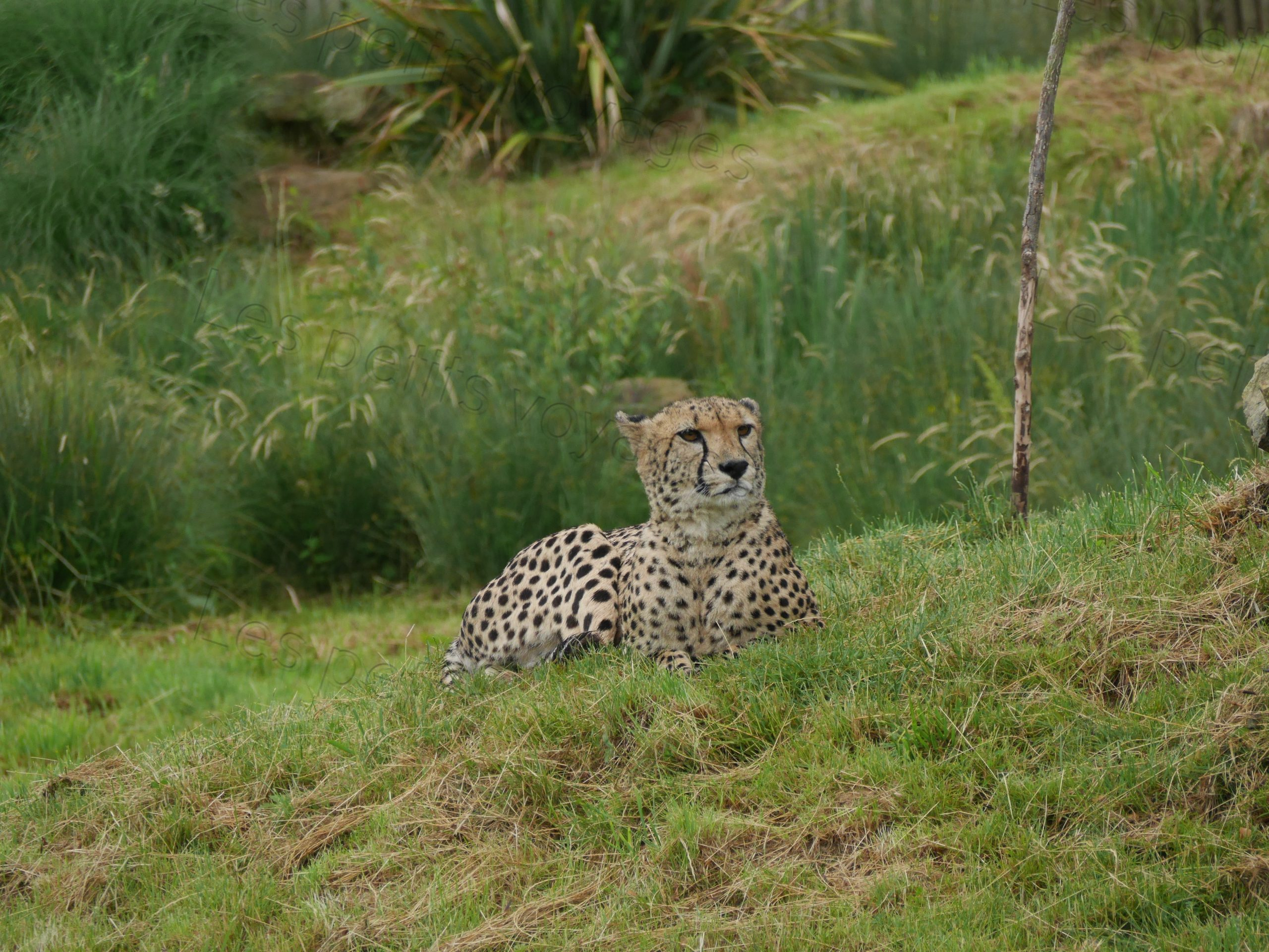 guepard zoo beauval