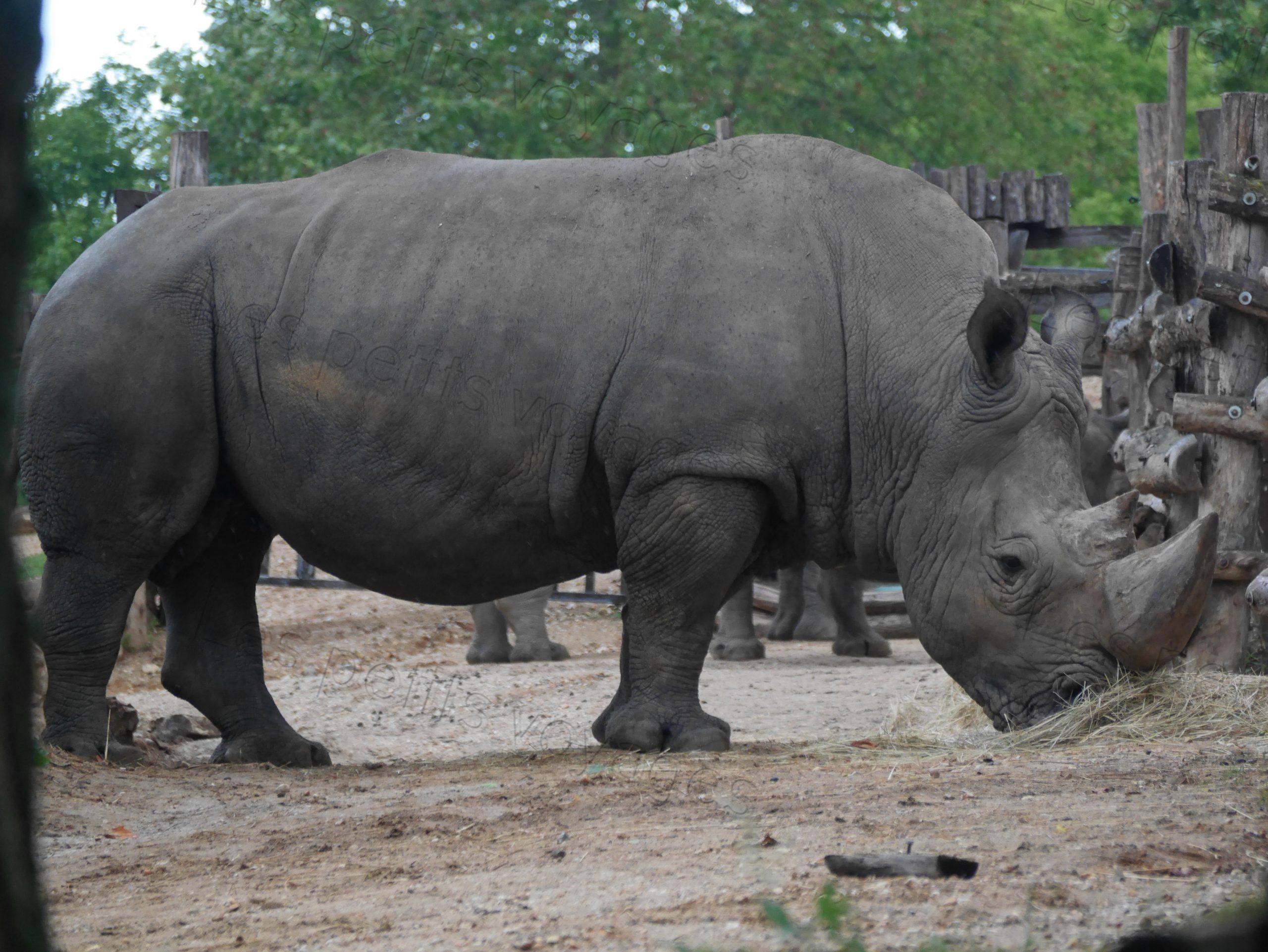 rhino zoo beauval