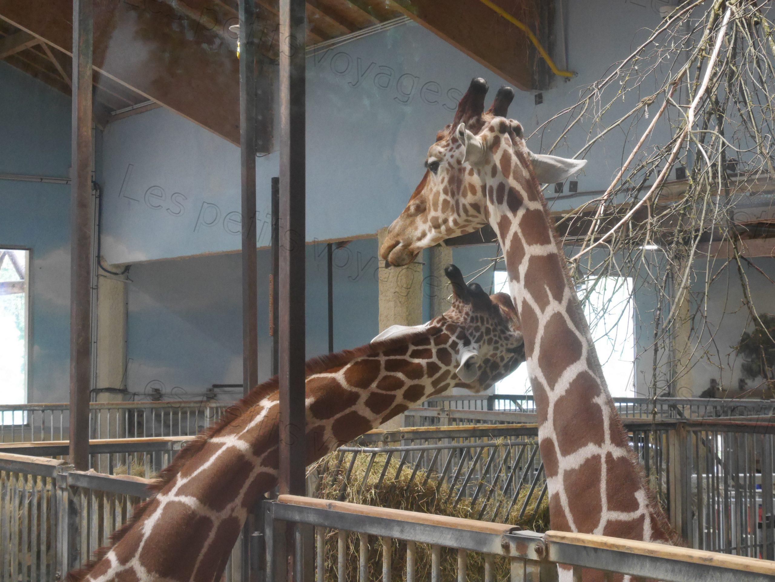 girafes zoo beauval