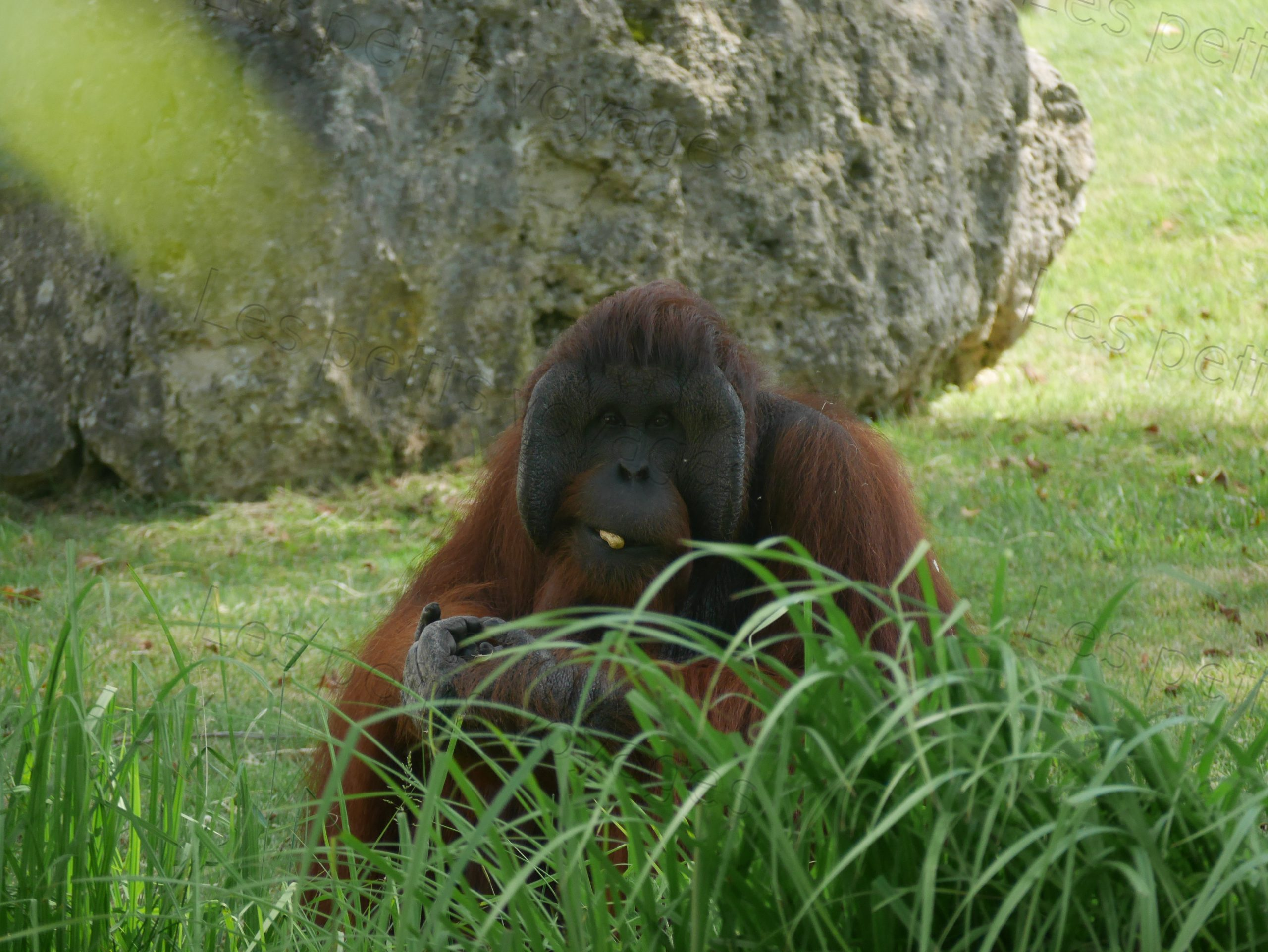 orang outang zoo beauval