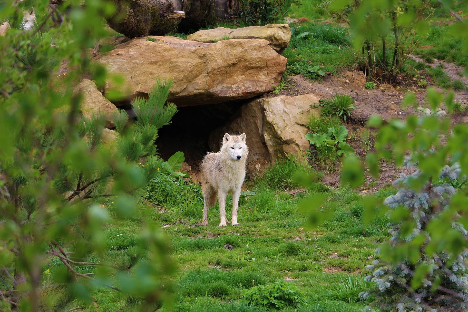loup zoo beauval